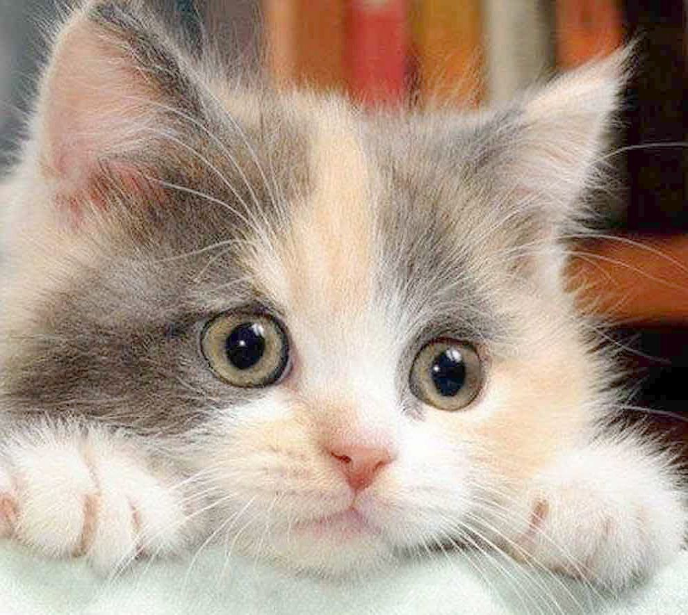 Tonkinese Kittens For Sale Near Me Even Cute Disney Animals To Draw Kittens Eyes Open At What Age Onto Dog Near Me Bak Cute Animals Kittens Cutest Pretty Cats