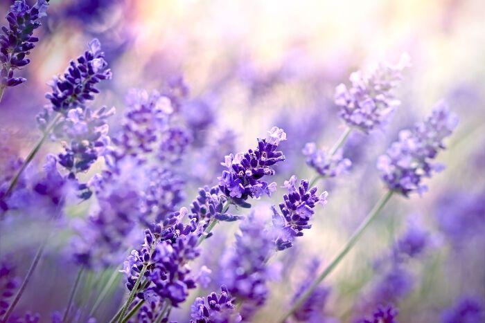 Lavender Color Karma Bracelet Set Flower Meanings Lavender Flowers Lavender Meaning