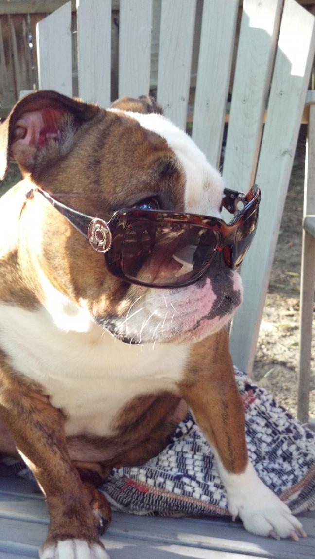 Dinner Is When Darling Bulldog Puppies Cute Animals English