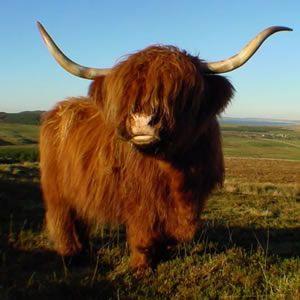 Always Wanted A Highland Cow Scottish Highland Cow Farm Animals Fluffy Cows