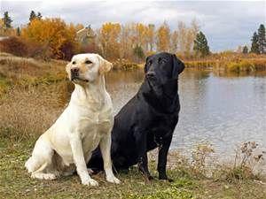 Labrador Retriever Wallpaper - Bing images