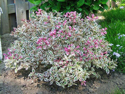 Tall flowering bushes full sun bing images for Tall flowering shrubs