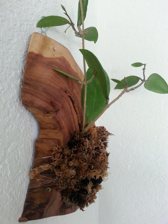 Hoya Carnosa, Wax Plant, Mounted on Polished Cedar Wood, Beautiful ...