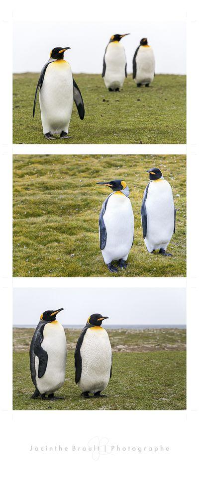 "Cliquez ici pour voir les photos de l'article ""Au pays des manchots"" / Click here to see the pictures from my article ""In the penguins' country"": http://jacinthebrault.com/2015/02/01/au-pays-des-manchots/  #manchot,#Îles Falklands,#nature,#penguins, #Falkland Islands"