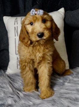 Litter of 15 Goldendoodle puppies for sale in WARSAW, IN