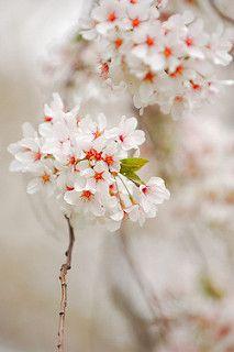 Dsc 0049 Tiny Flowers Sakura Cherry Blossom Flowers