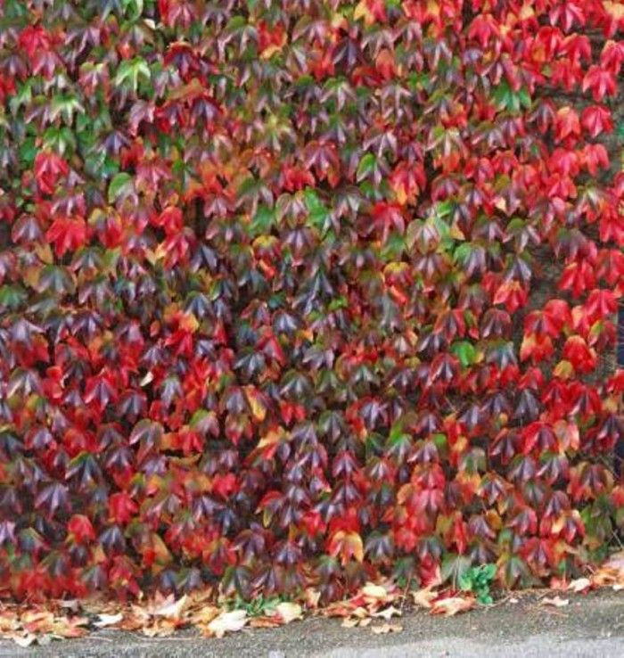 virginia creeper plants as fences covers