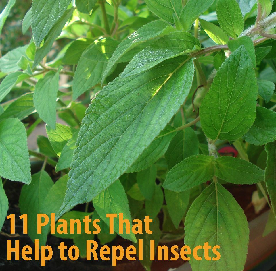 11 plants that help to repel insects eccb outdoor blog