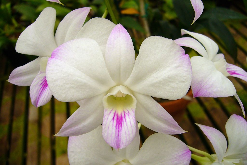 Iospe Photos Orchids Phalaenopsis White Flowers