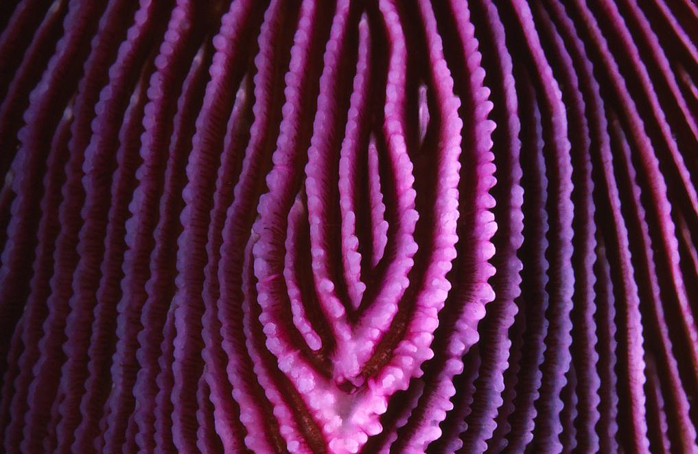 Purple razor coral macro by Jim Hulme