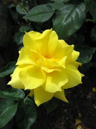 Yellow Camellia Flower In Full Bloom Camellia Flower Flowers Yellow Flowers