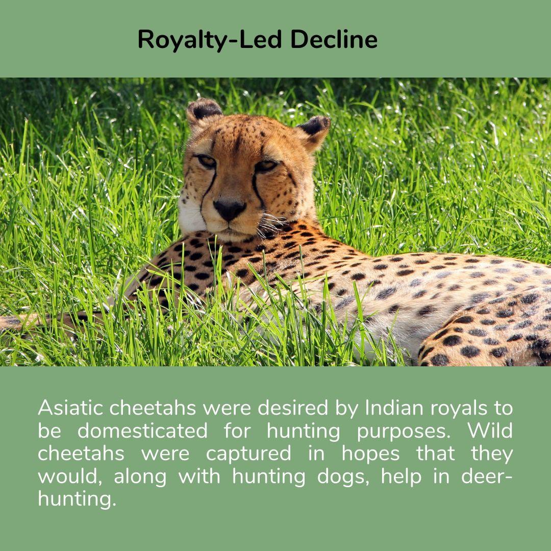 R̶e̶̶i̶n̶t̶r̶o̶d̶u̶c̶t̶i̶o̶n̶ Introduction of cheetahs