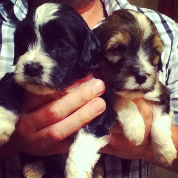 2 Beautiful Tibetan Terrier Puppies For Sale Terrier Puppies