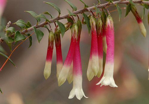 Australian Wildflowers Epacris Longiflora Koolewong Ridge 9 Australian Flowers Australian Wildflowers Flower Essences