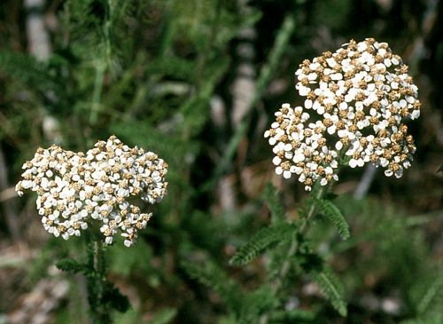 Common Yarrow Achillea Millefolium