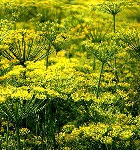Dill Pickle recipe / With Cultivation and Harvesting methods