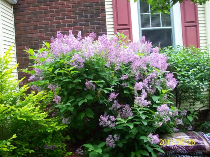 Miss kim lilac bush wanting this for my front yard for Bushes for front yard