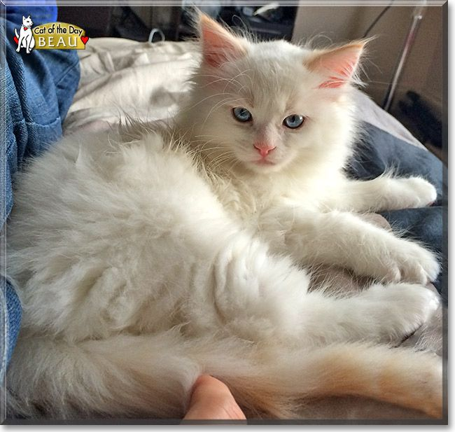 Beau Red Point Ragdoll August 12 2014 Cat Day Cute Cats Beautiful Cats