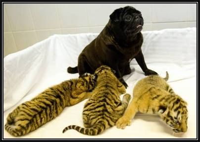 This Mommy Pug Has Just Adopted 3 Baby Tigers Her Maternal