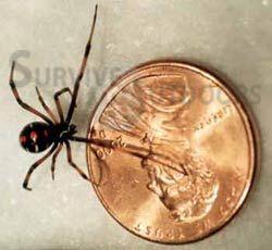 Babyblack Widow Next To Penny Black Widow Spider Black