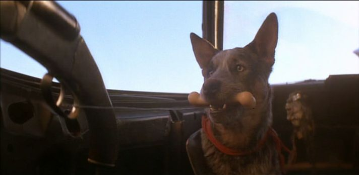 mad max shirt close up - Google Search   Aussie cattle dog, Cattle ...