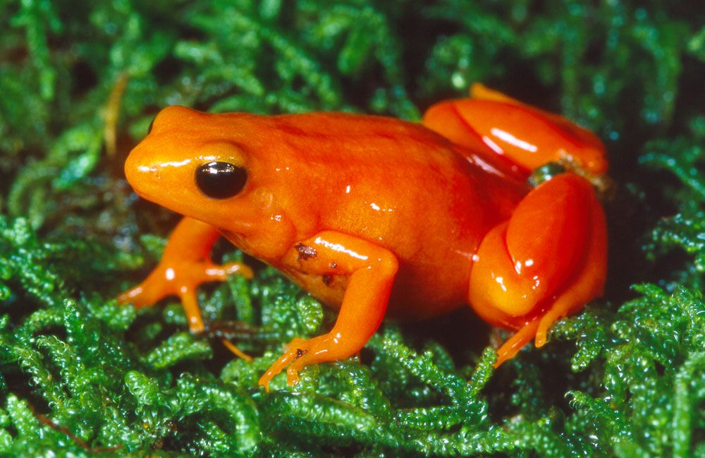 Golden Mantella (Mantella aurantiaca) is a small, terrestrial frog ...