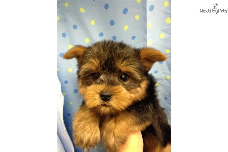 Yorkshire Terrier Puppies For Sale Orlando Fl Yorkshire