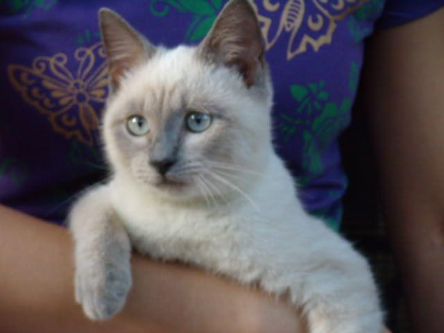 Short Haired Himalayan Cat Jpeg