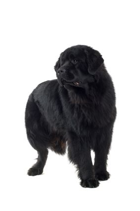Top Giant Dog Breeds: Newfoundland
