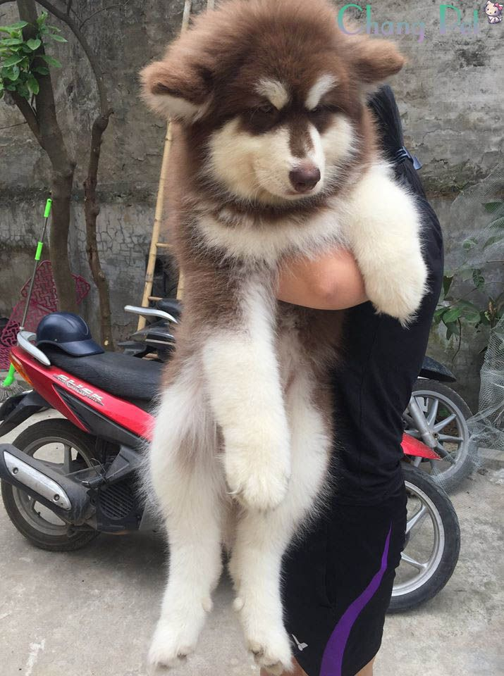 Alaskan Malamute 10 Big Fluffy Dogs Alaskan Malamute Puppies Alaskan Malamute