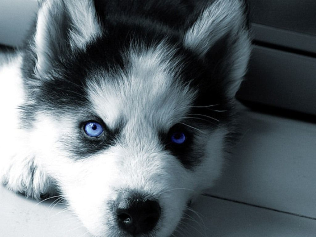 Siberian Husky Puppy I M In Love Cute Dog Pictures Siberian
