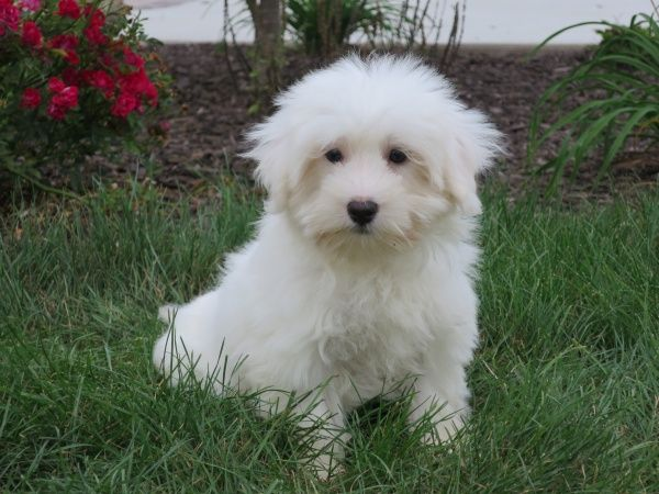 This Is The Cutest Puppy I Ve Ever Seen I Ve Always Loved Fluffy White Dogs Like Samoyeds But This Kind Of Dog Takes The Puppies For Sale Puppies White Dogs