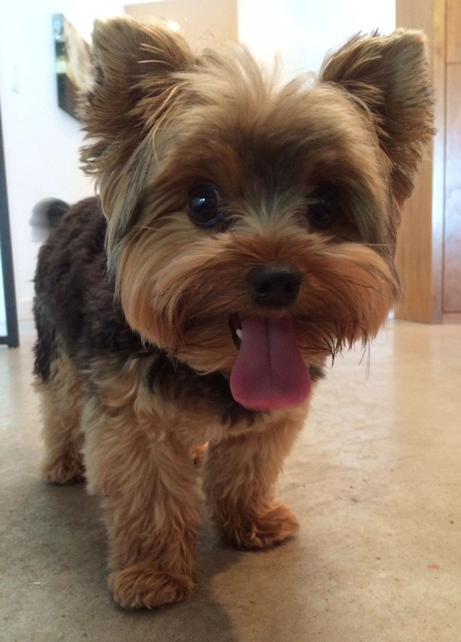 Pin by jahquell rampersad on puppies in 2020 yorkie