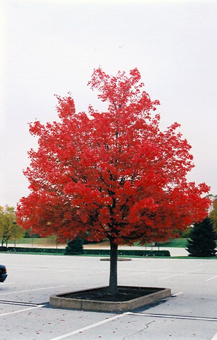 October Glory Red Maple Acer Rubrum October Glory At Stauffers