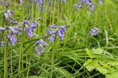 English spring wild flowers bluebells flowers pinterest wild english spring wild flowers bluebells mightylinksfo