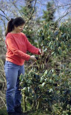 Verkahlten Rhododendron zurückschneiden -  Ein Rhododendron braucht normalerweise keinen regelmäßigen Rückschnitt – verkahlte Pflanzen werden durch eine Verjüngung mit der Gartenschere aber wieder schön kompakt und dicht.