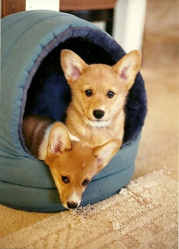 These Guys Are Ready For Camping Corgi Hund Susseste Haustiere Welpen