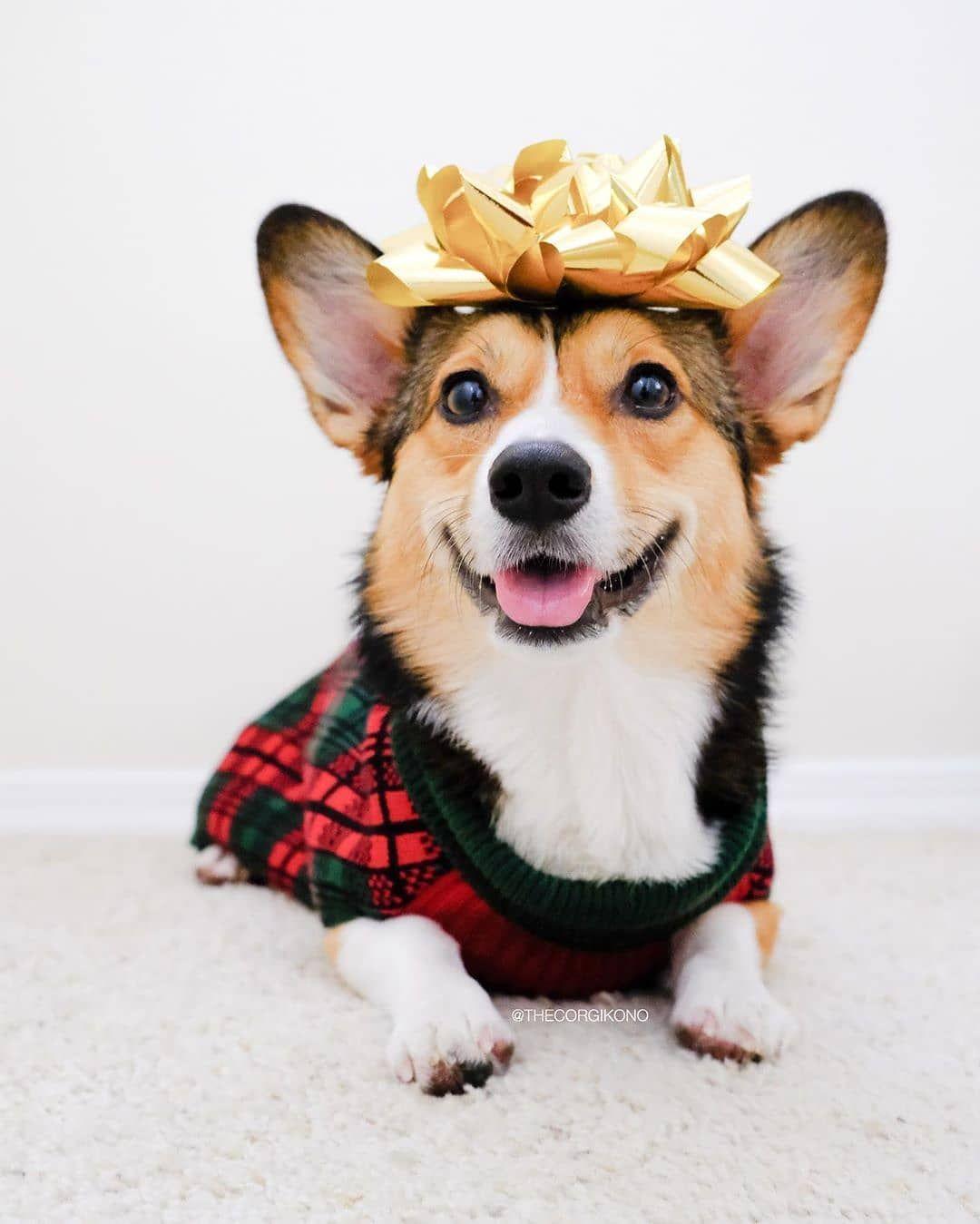 Creds @thecorgikono  Tag your friends  Merry Christmas! #christmascorgi #corgichristmas #christmas #xmas #merrychristmas #christmastime #christmasgifts #christmasiscoming #christmasdecorations #christmasgift #christmasdogs #XMASDOGS #christmaspups #doggiechristmas #christmaspuppy #christmasishere #christmasvibes #corgi #corgination #corgisofinstagram #corgicommunity #corgistagram #corgilove #corgis #corgipuppy #corgilover #corgilife #instacorgi #corgidaily #corgidog