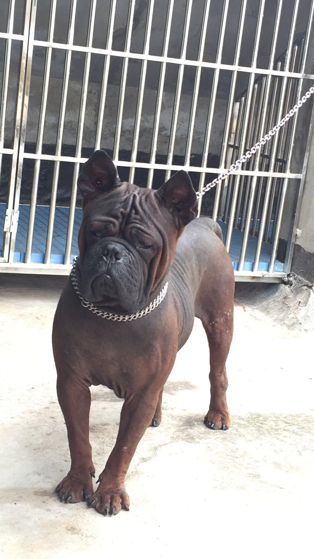 Bamboo Tail Kenne First Chongqing Dog Kennel Made In China Born In Europe Hidden Treasure From China Chongqingdog Bambootail 重慶 Bam