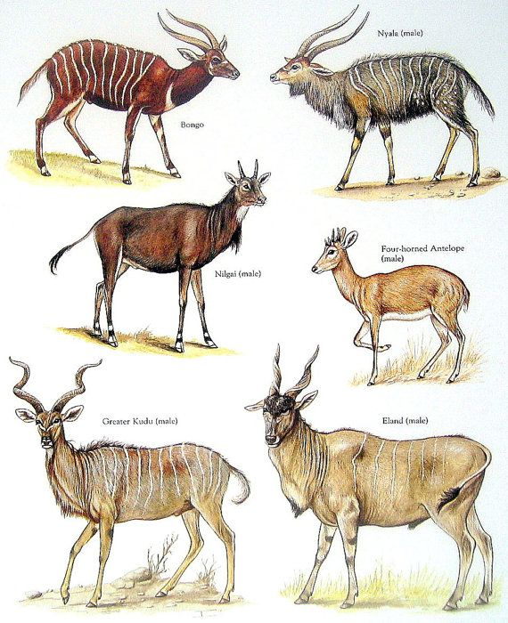 Bovids Bongo, Four Horned Antelope, Nyala, Greater Kudu Vintage