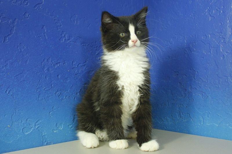 Black Bicolor Solid Ragdoll Cat Munchkin Kitten Ragdoll Ragdoll Kitten