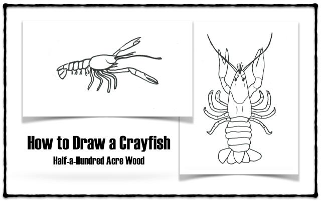 How To Draw A Crayfish Crayfish Anatomy Cc Cycle 1 2 3 Fine