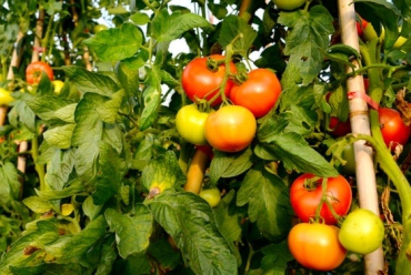 Potager facile : Comment planter et cultiver les tomates ...
