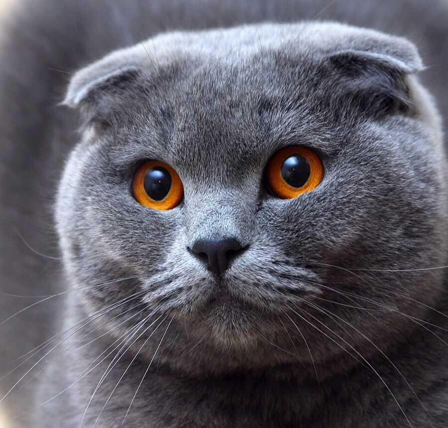 The eyes. The ears or lack of Cat scottish fold