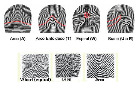 Los pliegues en el modelo de arco comienzan en una cara del dedo y en el extremo en la otra, formando una clase de arco concluido el centro.