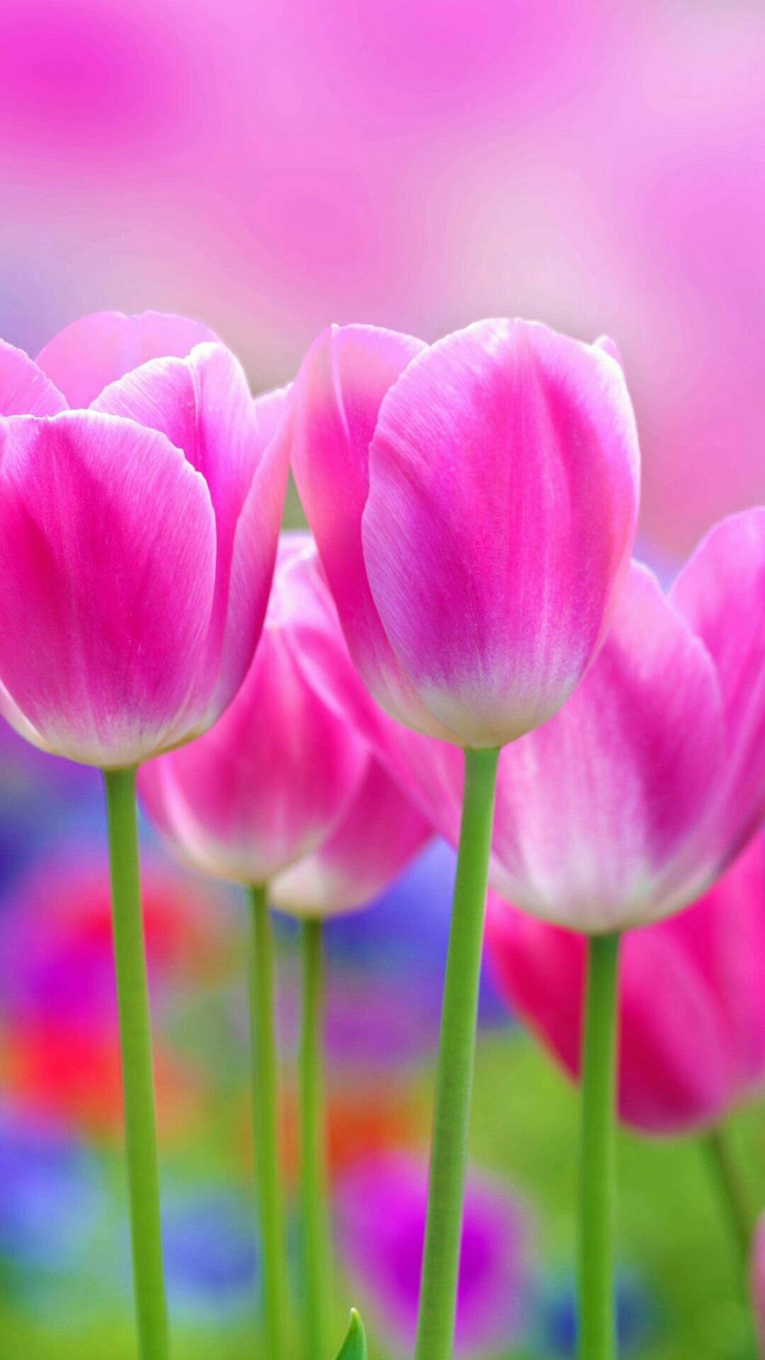 Pin by Nels on Tulips Flower wallpaper, Pink flowers, Tulips