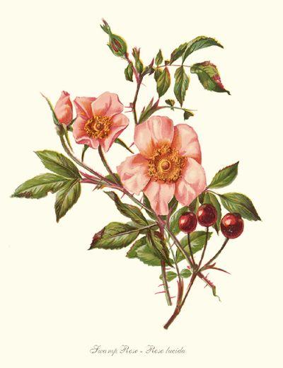Dwarf Wild Rose Flower Drawing Rose Art Flower Art