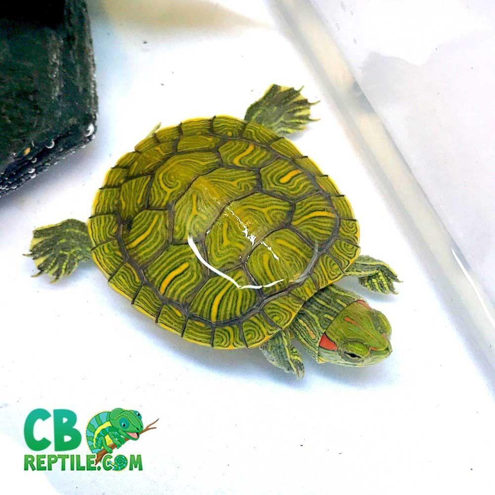 Aquatic Turtles For Sale Near Me Baby Turtles For Sale Online Water Turtles Red Eared Slider Turtle Turtles For Sale Slider Turtle