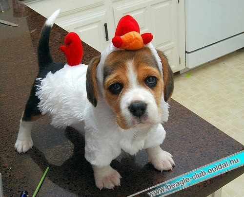 All Ready For Halloween I M A Little Chicken With Images