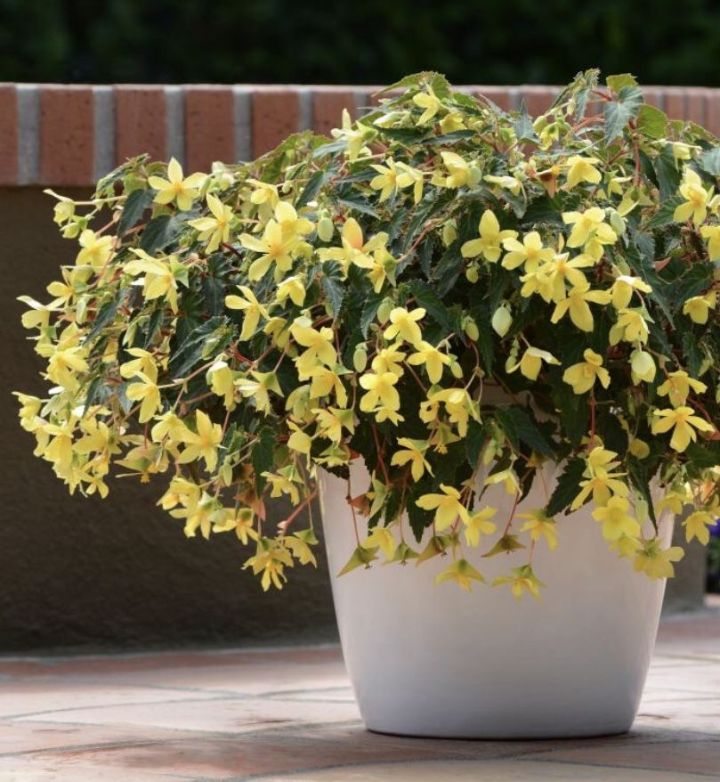 Begonia Mistral Yellow Container Bring On The Blooms With Mistral Yellow Begonia This Sunny Beauty Is A Type Of Begonia Bolivi Plants Begonia Container Plants